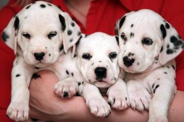 Когда щенка можно брать в новую семью?